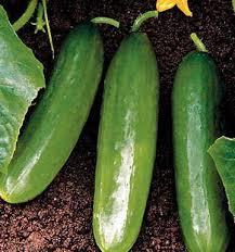 Cucumber Spacing On Trellis Diva Cucumber Seeds