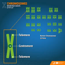 what does the color blue represent chromosomes fact sheet national human genome research institute
