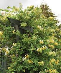 The Most Fragrant Plants - scentsation u0027 honeysuckle lonicera is one of the most fragrant