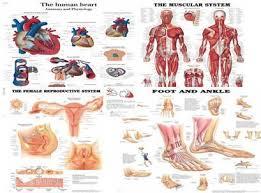 Anatomy And Physiology Human Body Human Anatomy U0026 Physiology Charts In Bhikaji Cama Place New Delhi