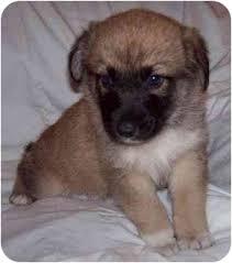 belgian sheepdog rescue adoption puppies adopted puppy saskatoon sk belgian tervuren husky mix