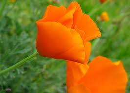 California Poppy California Poppy Auntie Dogma U0027s Garden Spot