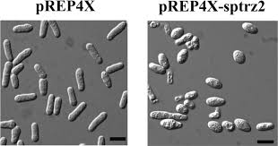 the fission yeast schizosaccharomyces pombe has two distinct