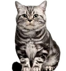 Sho Kucing Anti Jamur kucing brazillian shorthair cat www kucing biz
