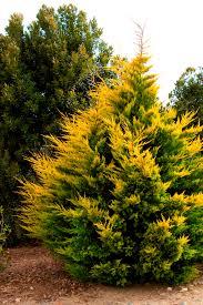 grow zone 5 9 gold rider leyland cypress monrovia gold rider