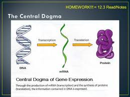 ap biology chapter 12 study guide answers dna dna synthesis and protein synthesis ppt video online download
