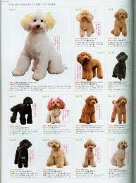 different styles of hair cuts for poodles huxtable the poodle toy poodle blog parti poodle japanese style