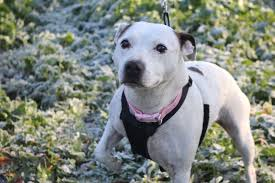 staffy x australian shepherd leyla u2013 8 year old female staffordshire bull terrier dog for adoption