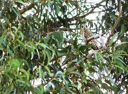 trees of uses stories banyan koa sandalwood coconut
