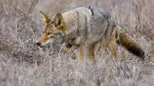 Coyote In My Backyard How To Keep Your Pets Safe From Coyotes