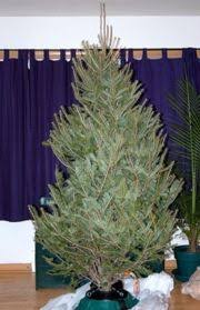 Pacific Northwest Christmas Tree Association - everything you need to know about real christmas trees straight