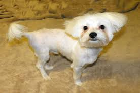 zuchon hair cuts maltese dogs 6 popular haircut styles and colors