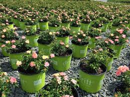 roses for sale drift roses for sale the planting tree