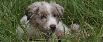 australian shepherd zucht deutschland deckrüden zucht casd deutschland e v