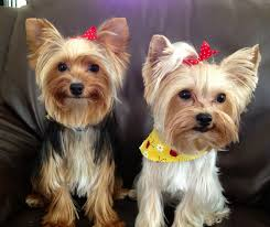 haircuts for yorkie dogs females 40 best pets yorkie images on pinterest yorkie yorkies and