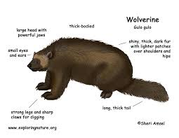 wolverine color diagram150 jpg