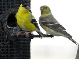 fringillidae lee u0027s birdwatching adventures plus
