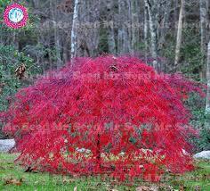 10pcs weeping japanese maple tree seeds garden
