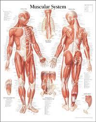 muscles in your body diagram u2013 hd m com