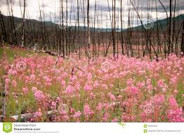 Wildfire Yukon by Blooming Fireweed After Wildfire Stock Photo Image 63201630