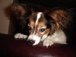 bichon frise nashville bichon frise dogs for adoption in usa