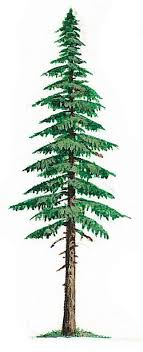 fir tree hemlock tree pencil and in color fir tree