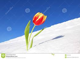 tulip snow stock photos royalty free stock images