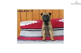 belgian shepherd oklahoma lacey u0027s 1f belgian shepherd malinois puppy for sale near oklahoma