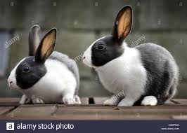 pair of black and white rabbits stock photo royalty free image