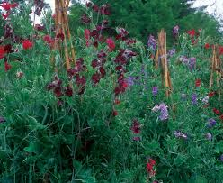 Container Gardening Peas - success with sweet peas fine gardening
