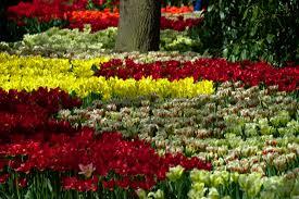 free images landscape nature field flower tulip spring