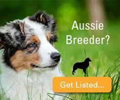 australian shepherd breeders australian shepherd breeders directory