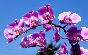 purple orchid flower eletragesi blue and purple orchid flower images