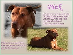 american pitbull terrier uk law pinks fund carla lane animals in need