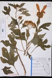 native plants fort myers tithonia diversifolia species page isb atlas of florida plants