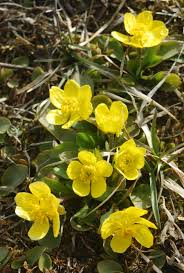 native plants names sagebrush buttercup ranunculus glaberrimus blackfoot native plants
