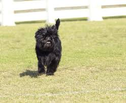 affenpinscher dogs for sale breed of the week the affenpinscher simply for dogs