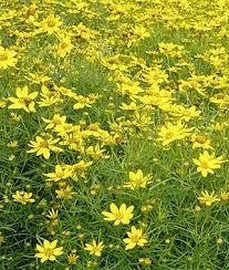 97 best perennials images on pinterest cut flowers flower