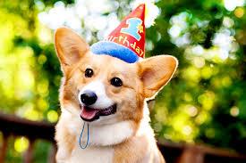 Corgi Birthday Meme - dog whisperer i love my corgi