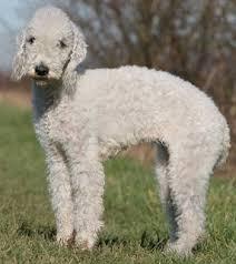 bedlington terrier stud bedlington terriers what u0027s good about u0027em what u0027s bad about u0027em