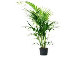 best plants for low light indoor house plant plnt kenti plm good plants low light tall for