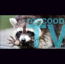Raccoon Meme - raccoon tv home facebook