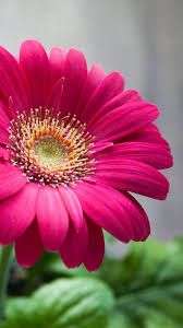Ideas For Gerbera Flowers Best Picture Flowers 25 Best Gerbera Flower Photos Ideas On
