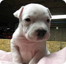 american pitbull terrier mix baja u0027s sierra adoption pending adopted puppy 8017063 white