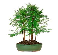 286 best bonsai images on bonsai trees plants and