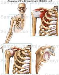 Anatomy Of Rotator Cuff Anatomy Of The Shoulder And Rotator Cuff Medical Illustration