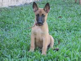 belgian malinois brindle puppies available