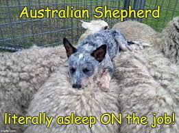 australian shepherd funny sleeping on the job imgflip