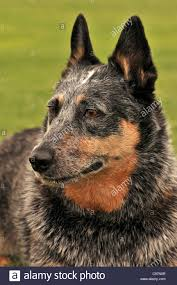 australian shepherd blue heeler a female australian cattle dog or queensland blue heeler who is