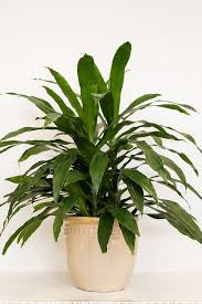 the most common inside houseplant janet craig u0027s long glossy